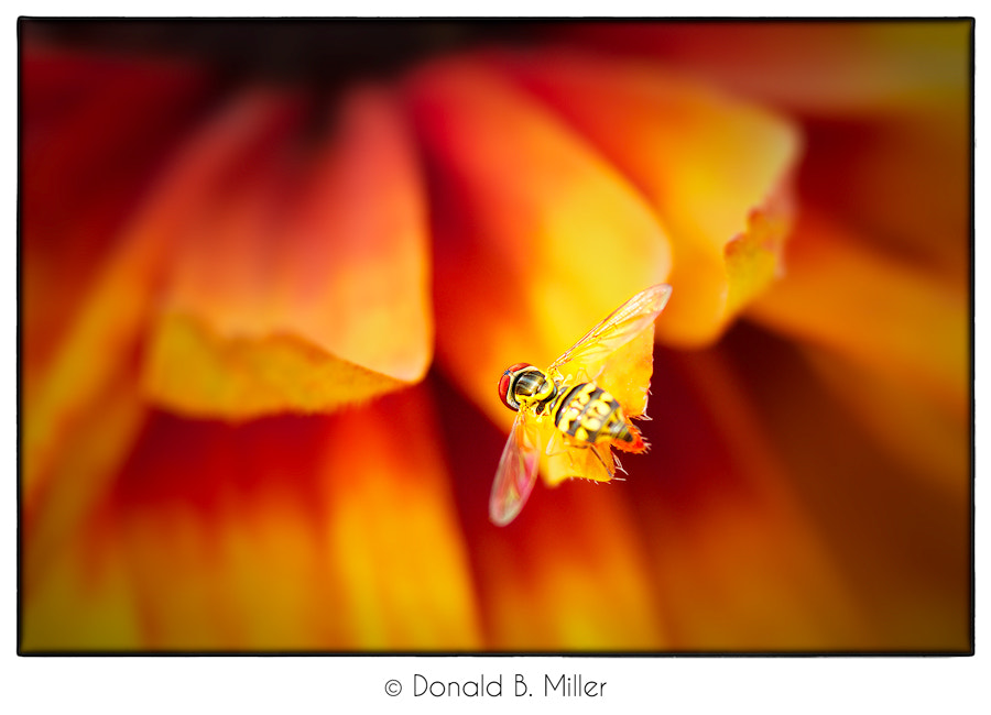 Photograph Bee Fly by Donald Miller on 500px