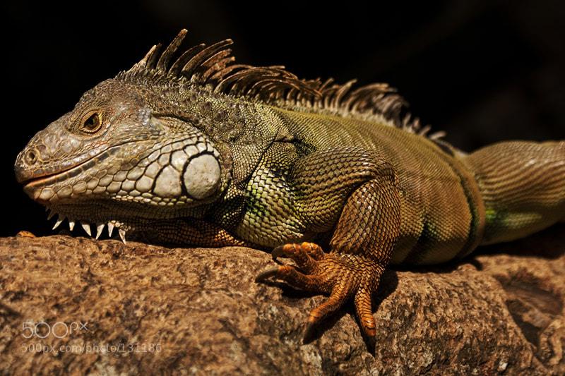 Photograph Bali iguana by Kruchinina Ekaterina on 500px