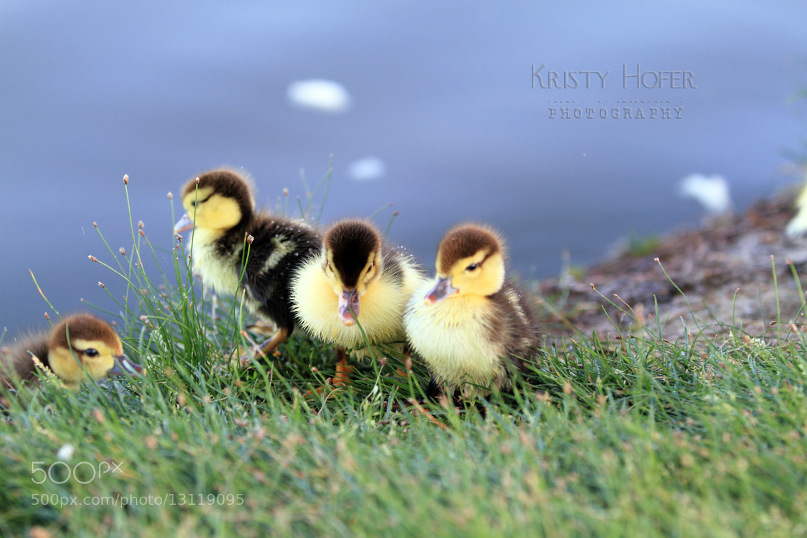 Photograph Ducklings..... by Kristy Hofer on 500px