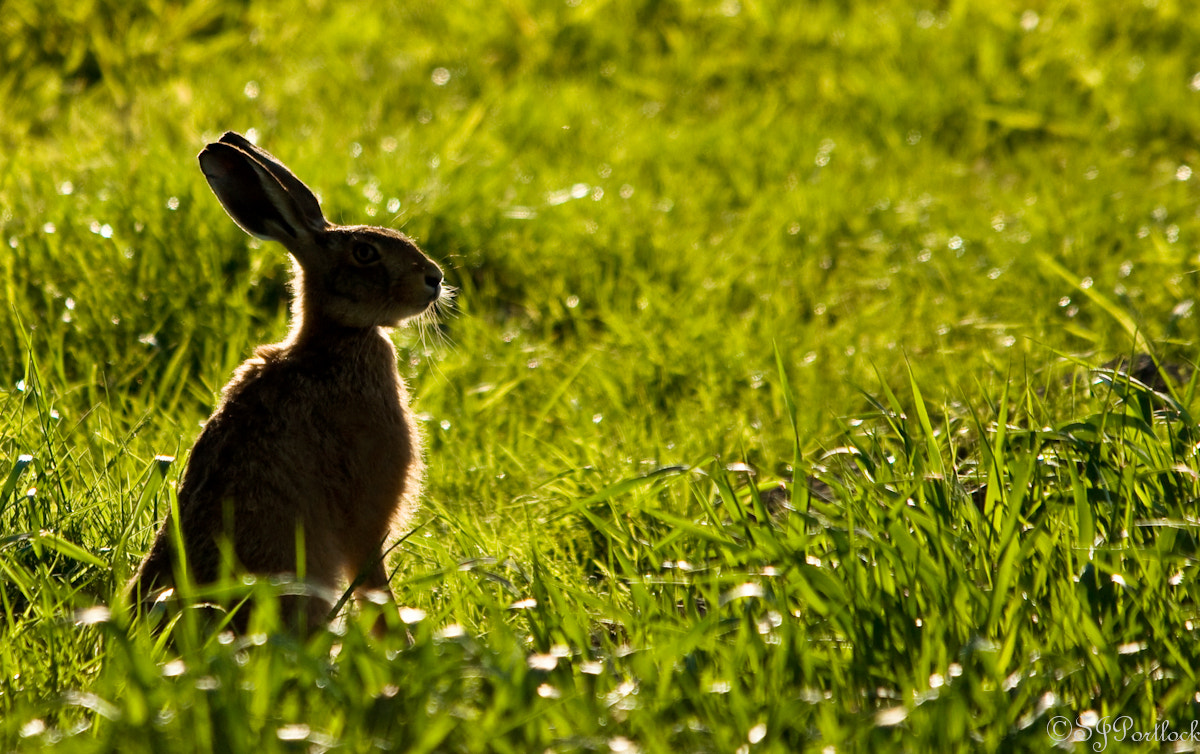 Photograph Morning Hare by Stephen Portlock on 500px