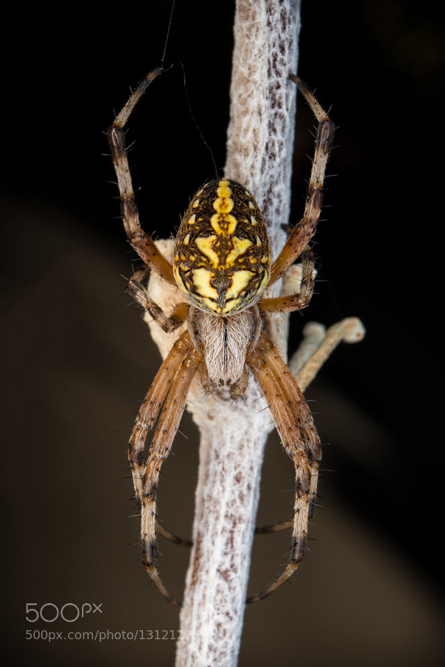 Photograph Western Spotted Orb Weaver by Jeffy Can on 500px