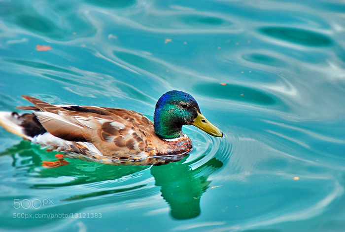 Photograph Quack by Haifa Alh on 500px