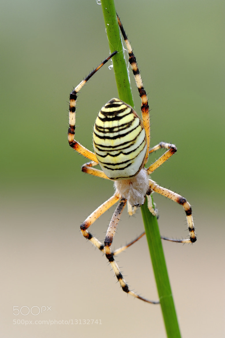 Photograph Argiope bruennichi by mauro maione on 500px