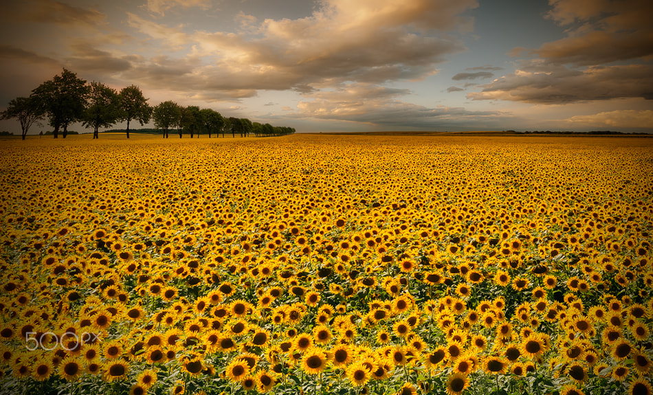 Photograph sunflowers by Piotr Krol on 500px