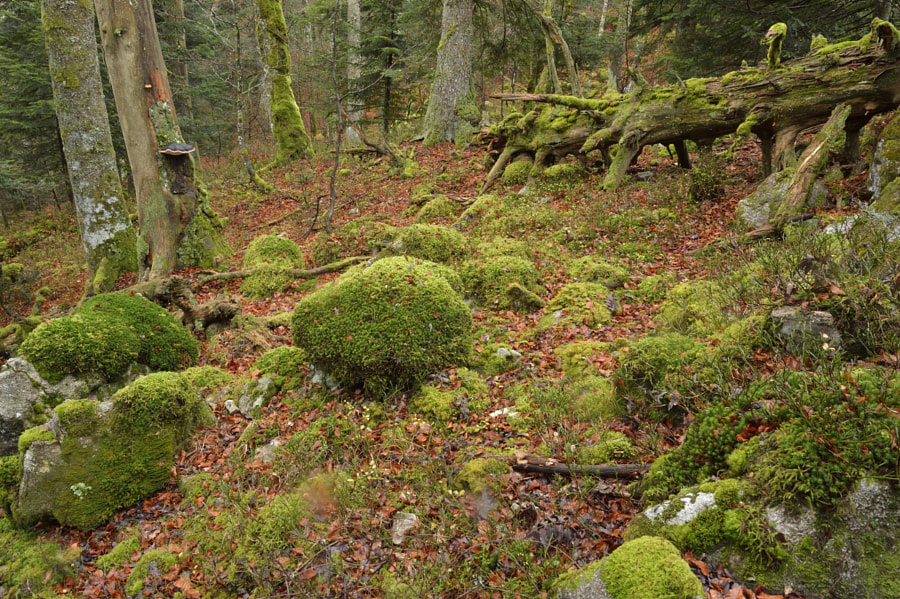 Old forest / Vosgian mountains (France)