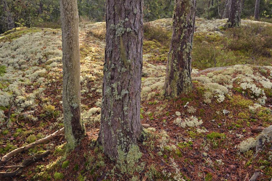 Soft light / Tiveden NP (Sweden)