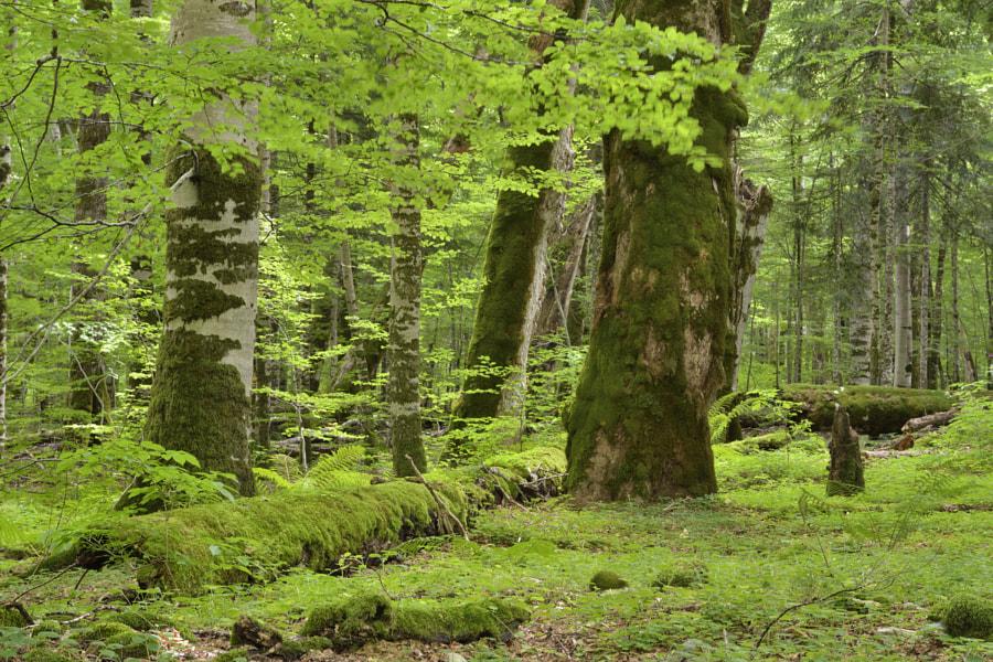 Balkan forest / Montenegro
