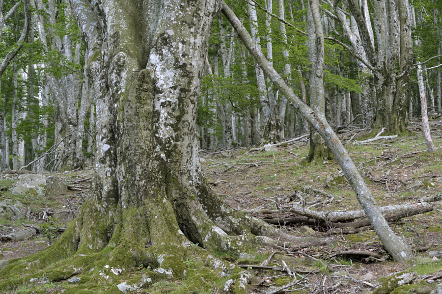 Old beech tree