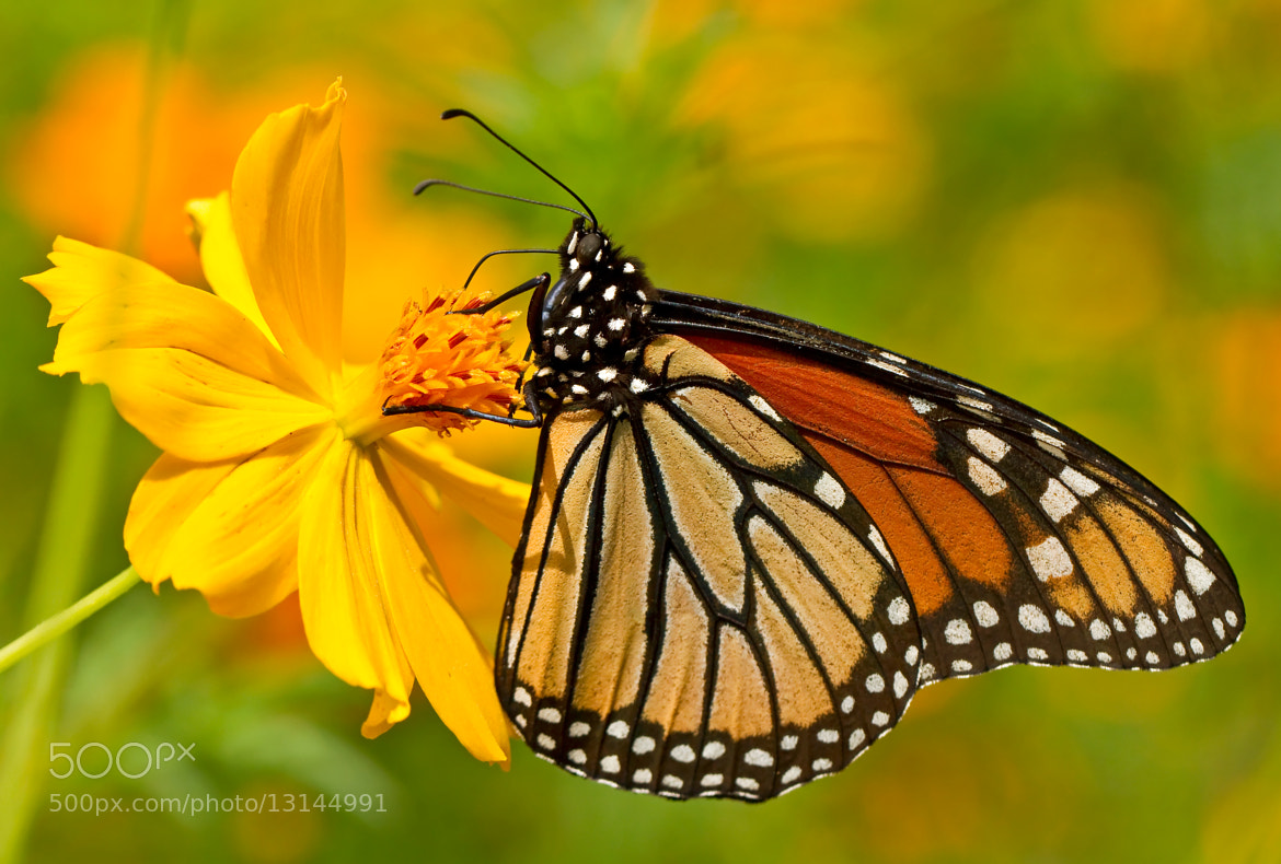 Photograph Monarch by Lorraine Hudgins on 500px