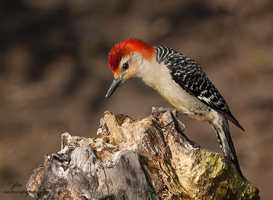 Photograph The Male Red-Bellied Woodpecker by Judylynn Malloch on 500px