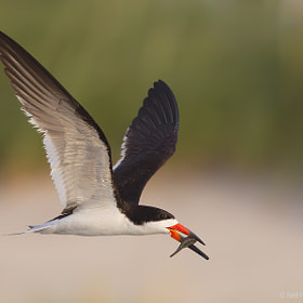 Black Skimmer by Axel Hildebrandt (axelhildebrandt)) on 500px.com