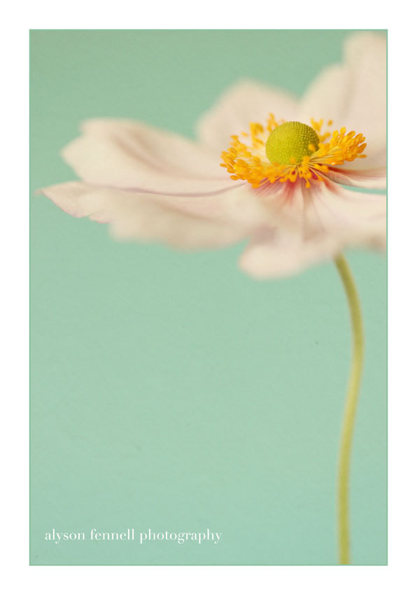 Photograph Japanese Anemone by Alyson Fennell on 500px