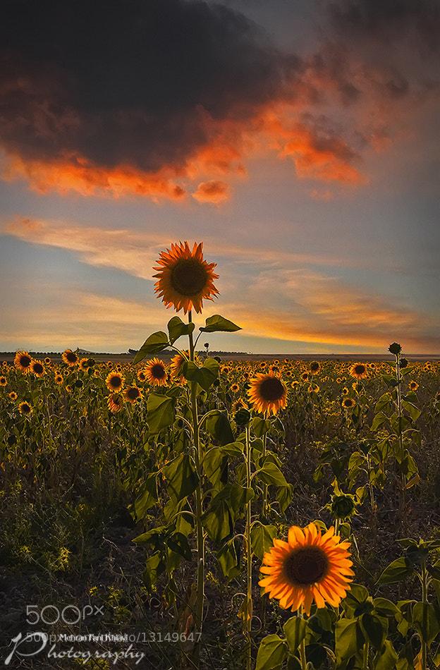 Photograph Sunflower! by Mehran Fani Khiavi on 500px