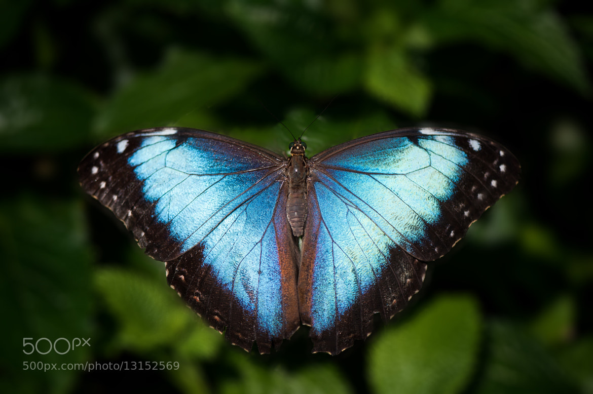 Photograph Blue Butterfly by Justin Lo on 500px