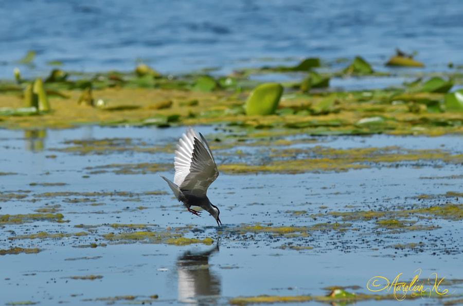 Common tern attack