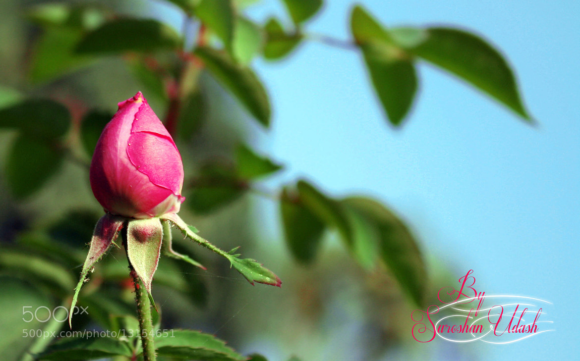 Photograph Rose for Love :p by Suroshan Udash on 500px
