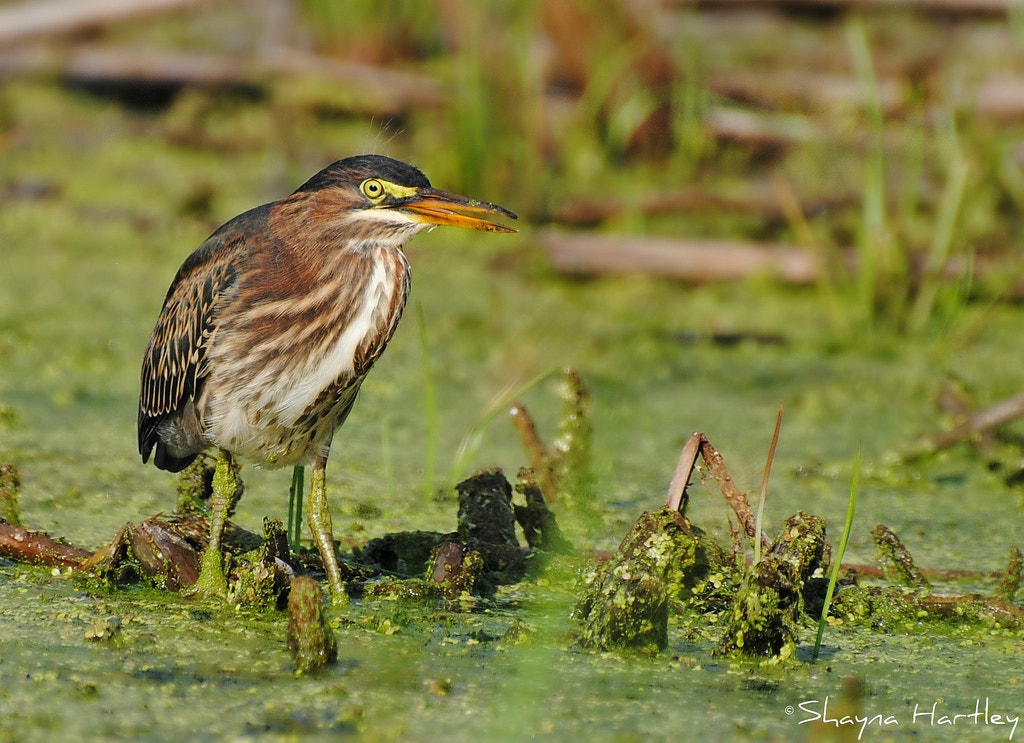 Photograph Juvenile Green Heron by Shayna Hartley on 500px