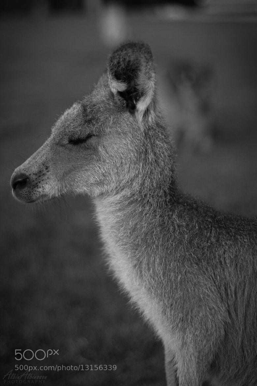 Photograph Sleepy Kangaroo by Albin Albinsson on 500px