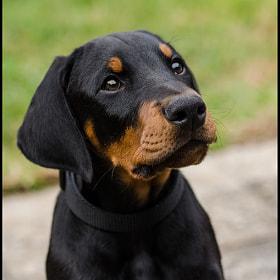 doberman puppy by Matt Debouge on 500px.com