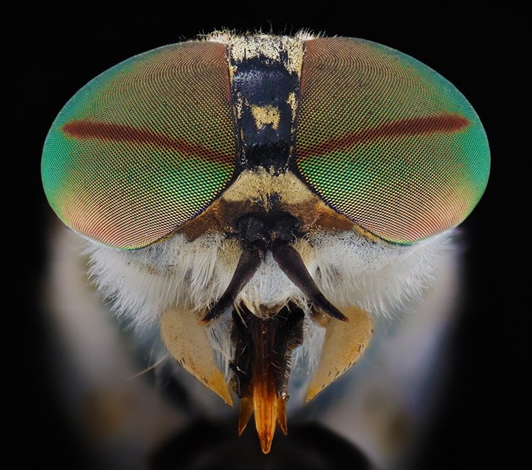 Photograph Deerfly by Soheil Shahbazi on 500px