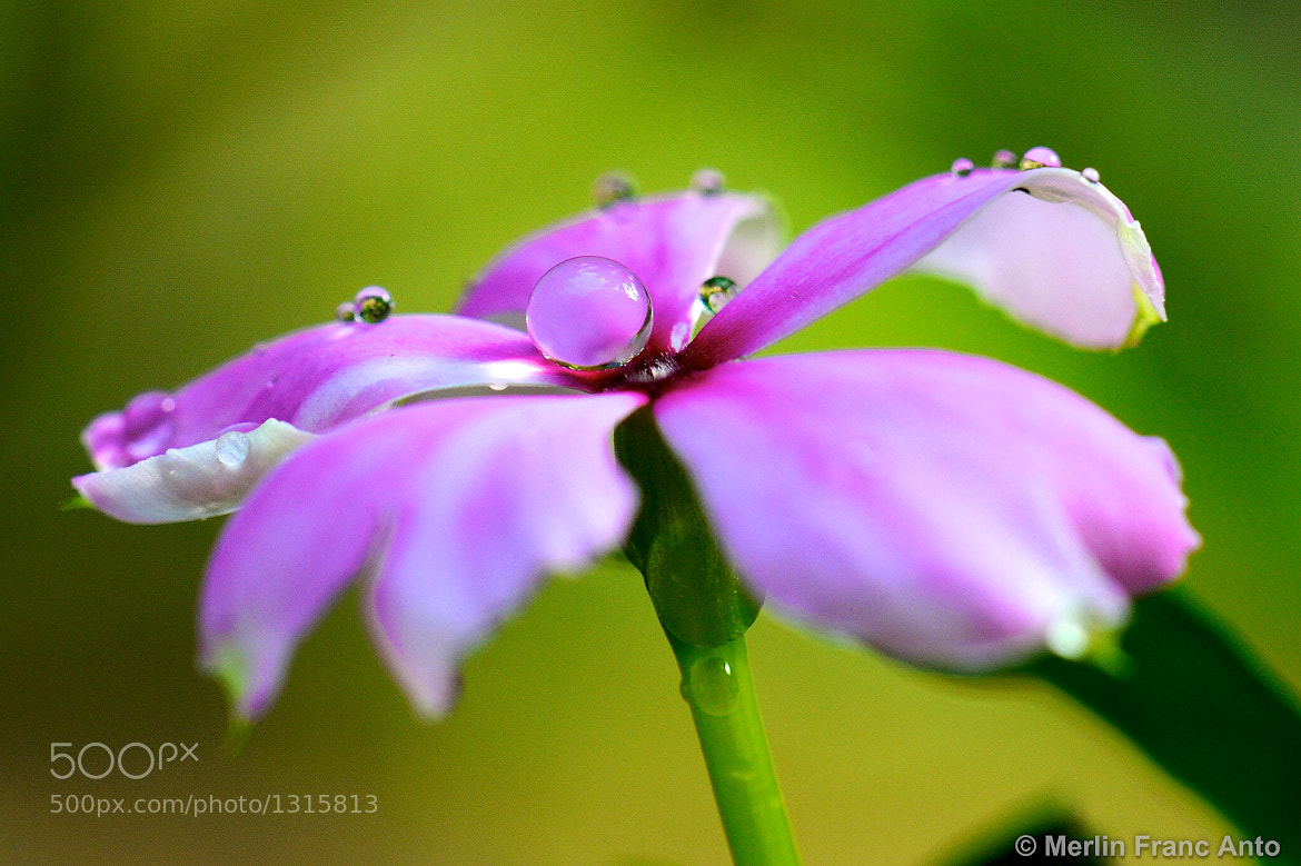 Photograph Vinca minor - After Rain by Merlin Francis on 500px