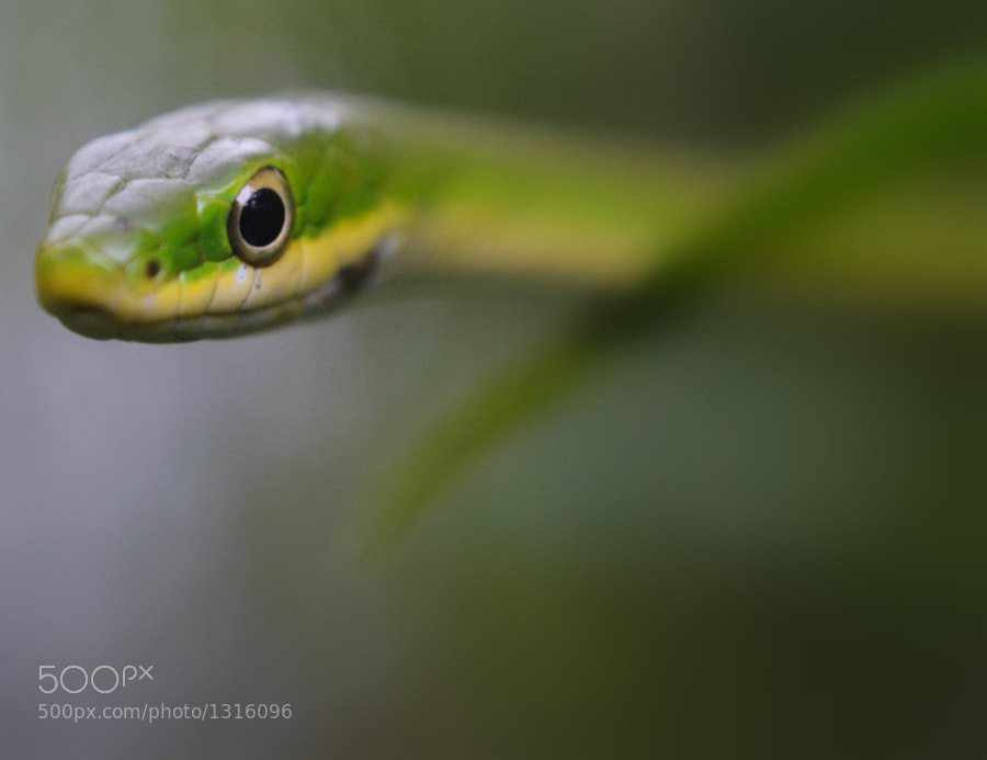 young green snake slithers through the grass