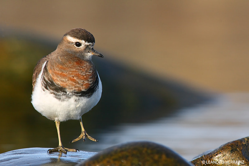 Photograph Chorlito pecho canela - Rufous-chested Dotterel by Leandro Herrainz on 500px