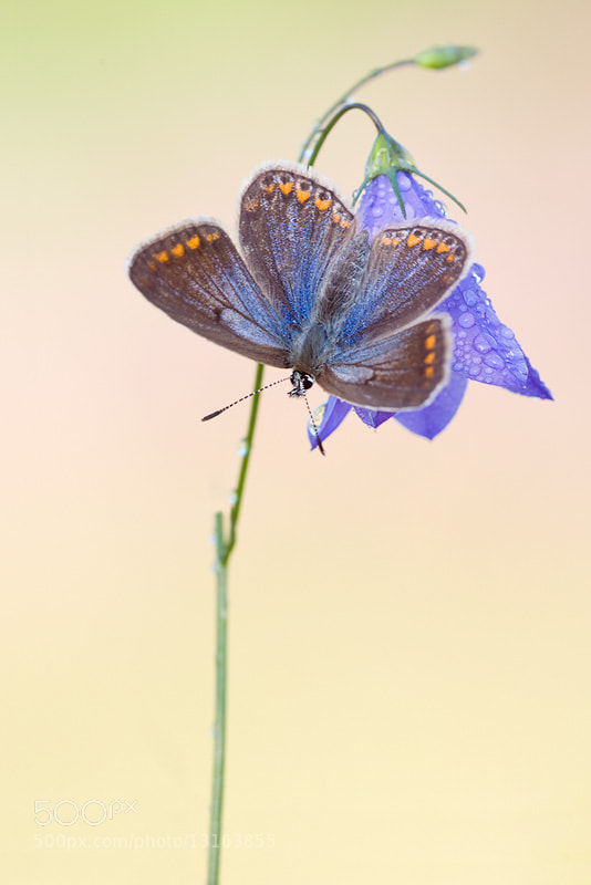 Photograph Polyommatus icarus  III by der Lichtbildner on 500px