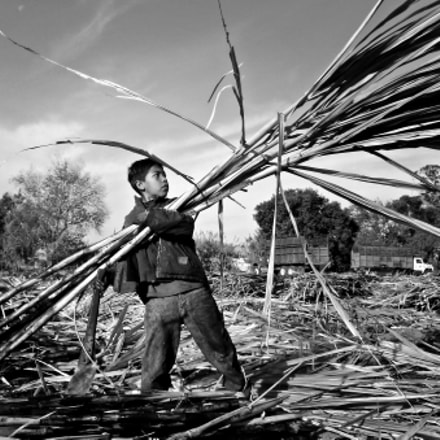 Child in harvesting sugar, Panasonic DMC-ZR3