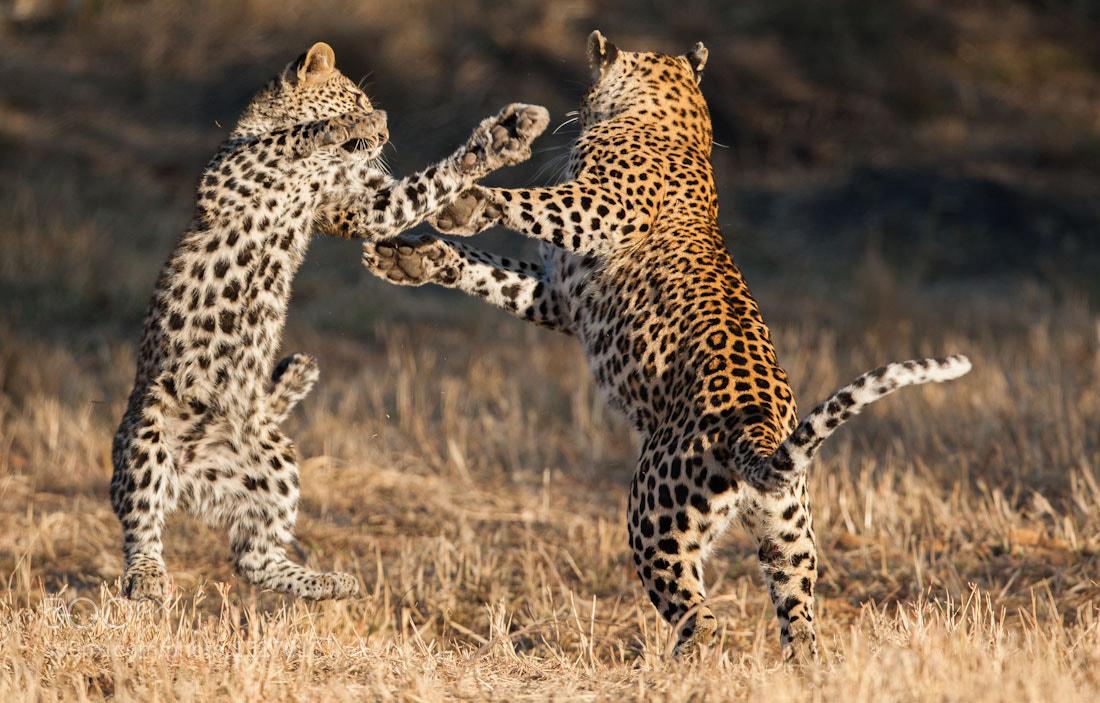 Photograph Growing Up Leopard by Marlon du Toit on 500px