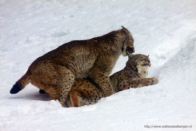 Photograph Lynx mating (C) by Walter Soestbergen on 500px
