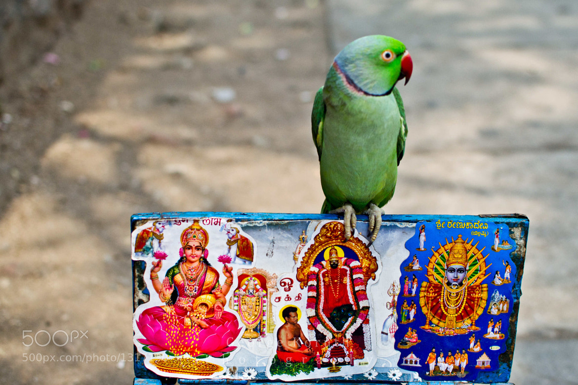 Photograph Fortune Telling Parrot by George Koruth on 500px