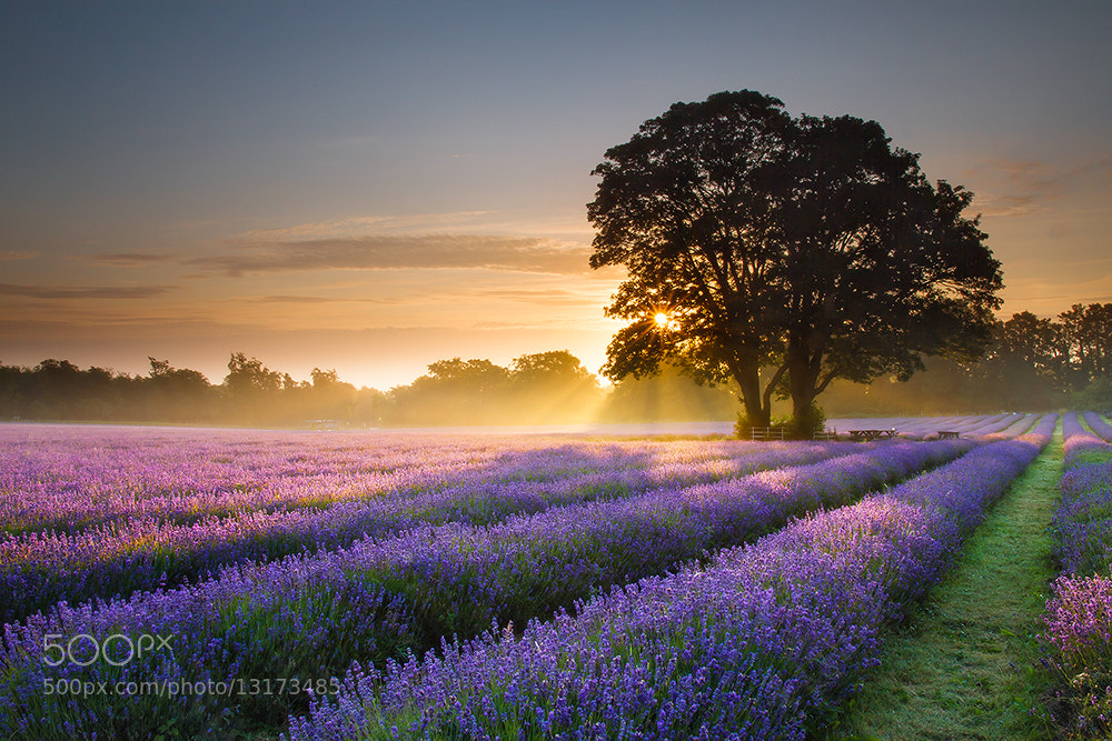 Photograph Dreamy Lavender by Daniel Hannabuss on 500px