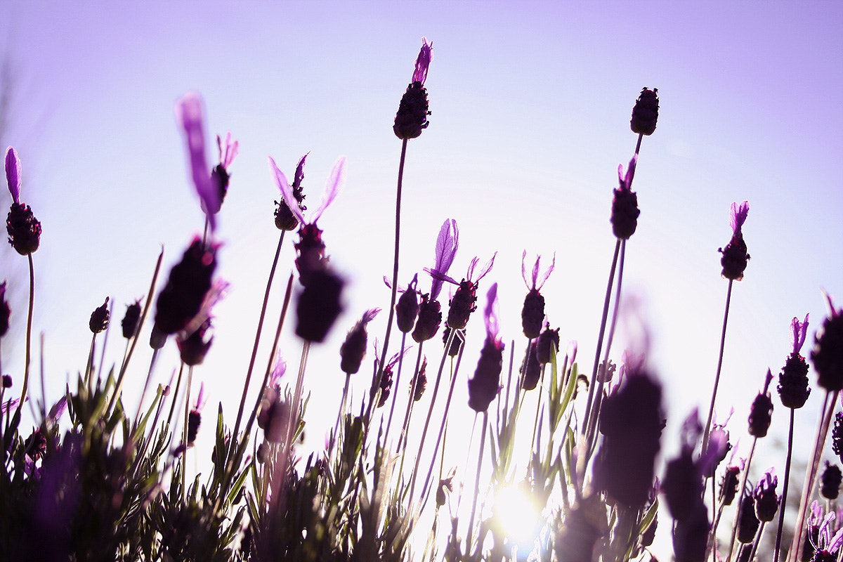 Photograph Wild lavender moments by Judith Aranda on 500px