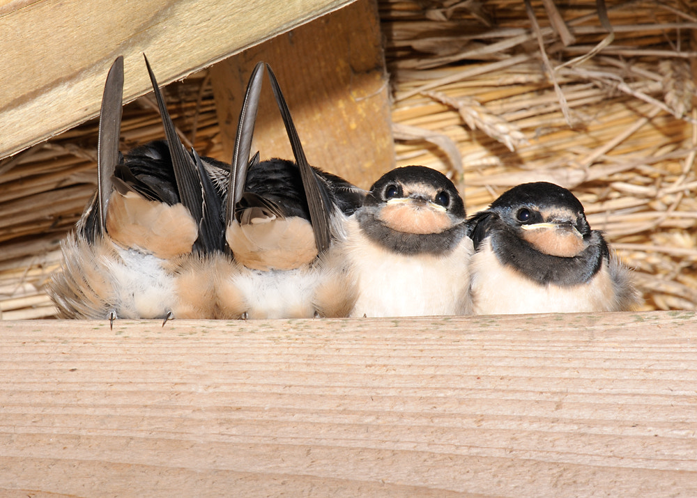 Photograph Swallows roosting by Kevin  Keatley on 500px