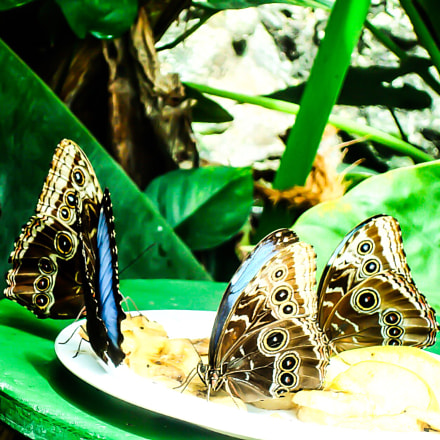 Butterfly family eating bananas, Sony DSC-W85