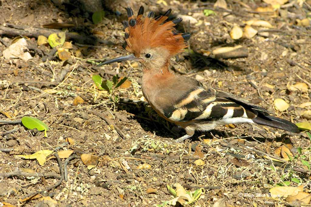 Photograph African Hoopoe by Denis Rivard on 500px
