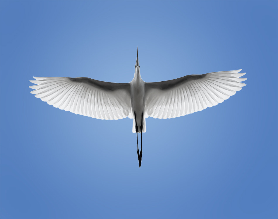 Photograph great egret by Tristan Dumlao on 500px