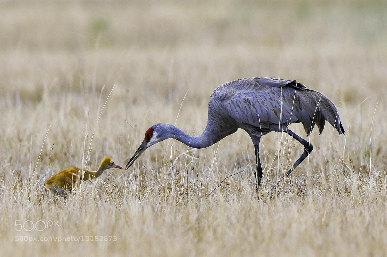 Photograph sandhill crane by Michael Leggero on 500px