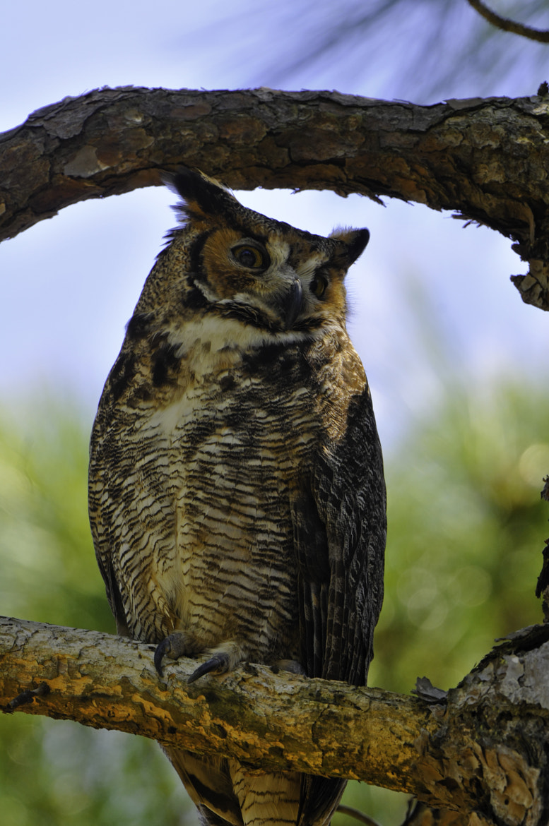 Photograph great horned owl by Michael Leggero on 500px