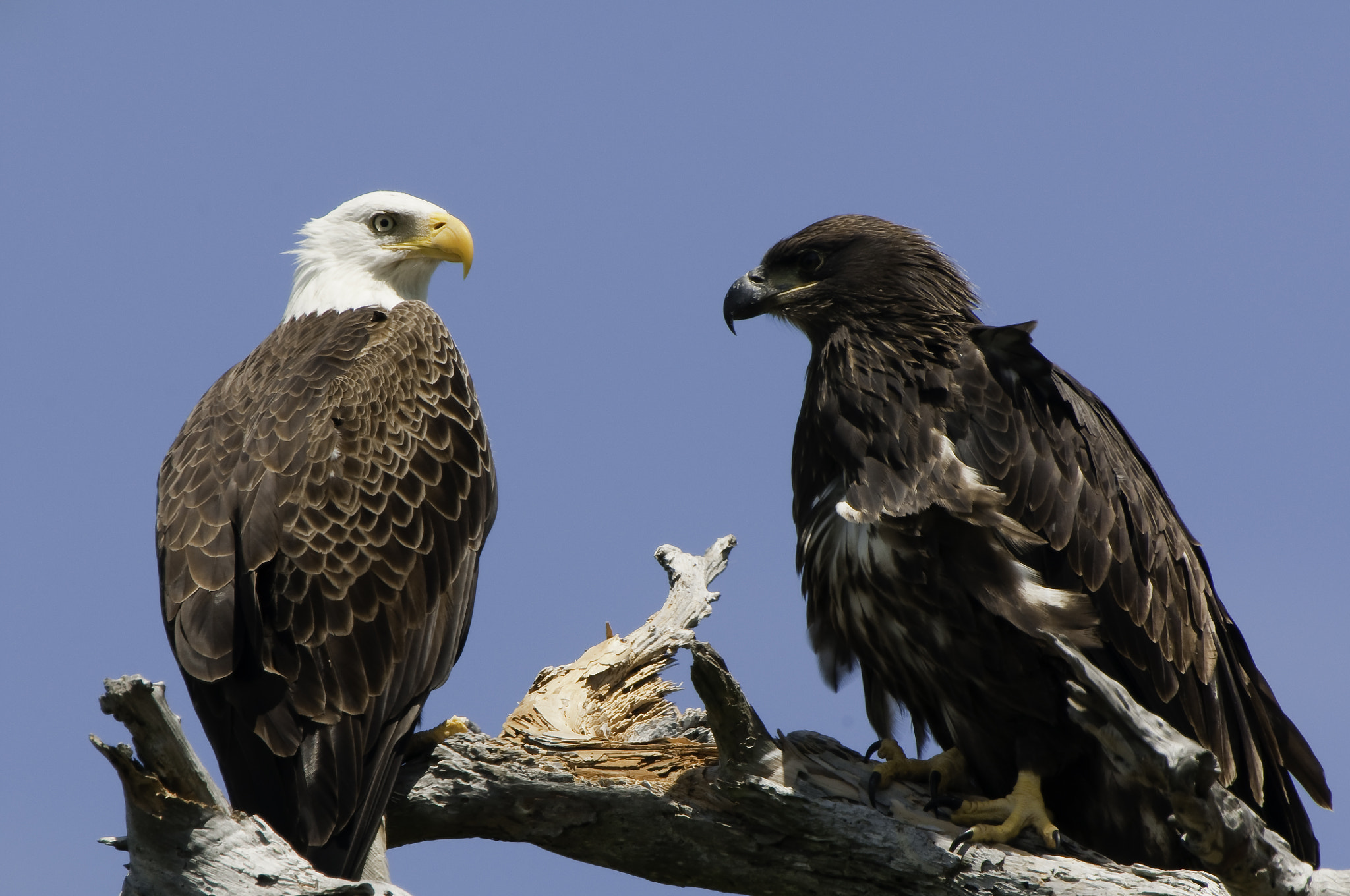 Photograph american bald eagle and chick by Michael Leggero on 500px
