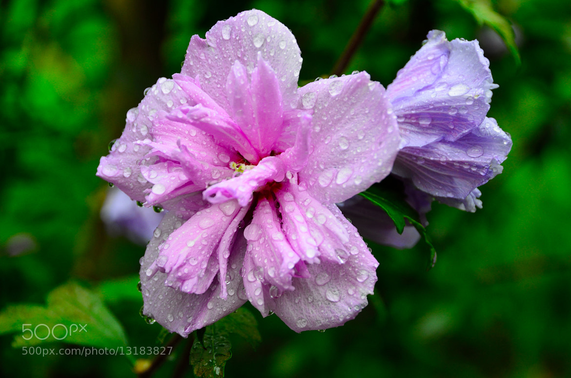 Photograph Rose of Sharon by John B. on 500px