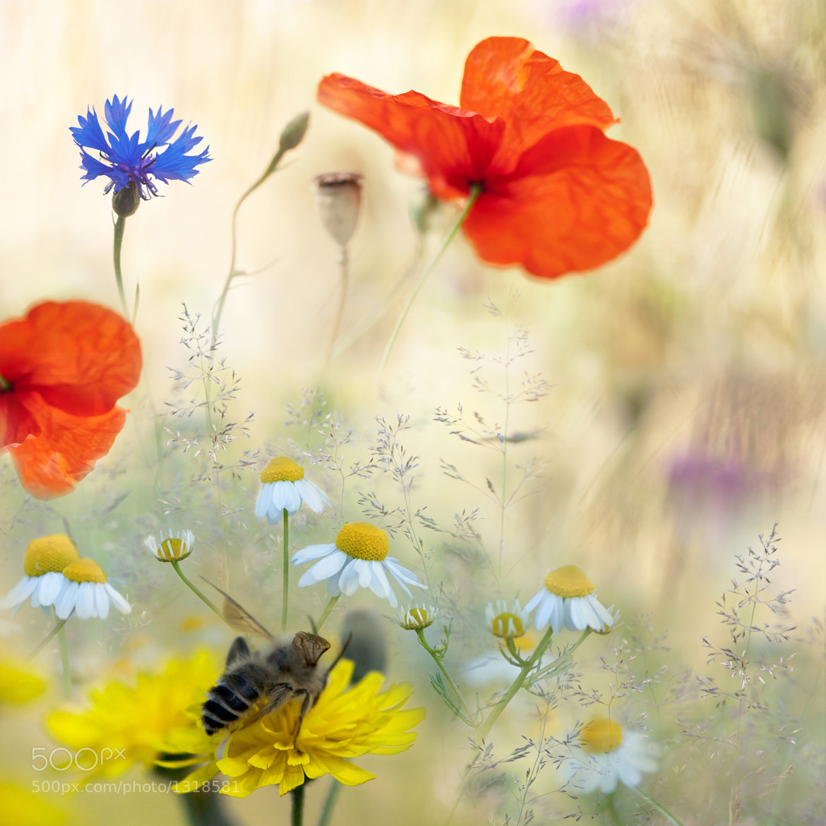 Photograph Poppies in the summer by Teuni Stevense on 500px