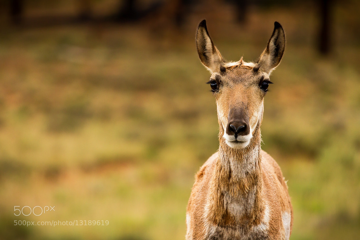 Photograph Pronghorn Antelope by Rob Rauchwerger on 500px