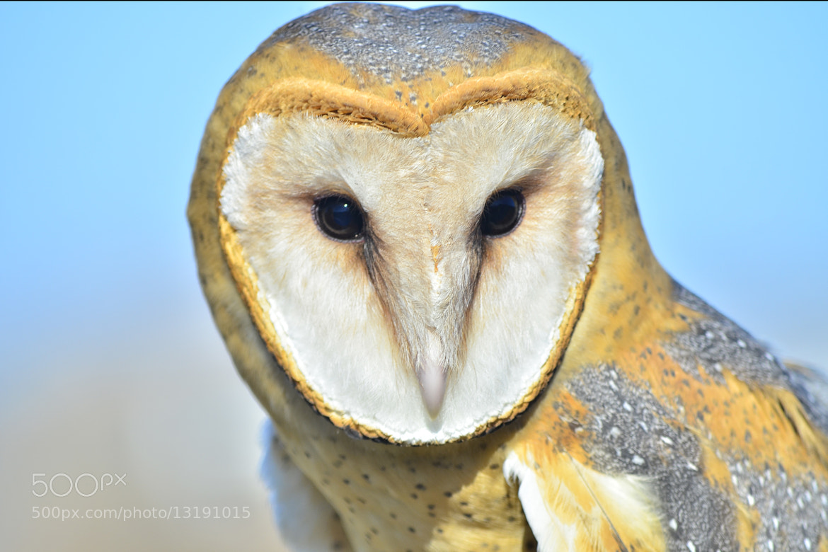 Photograph Beautiful Barn Owl by Linda Shaw on 500px