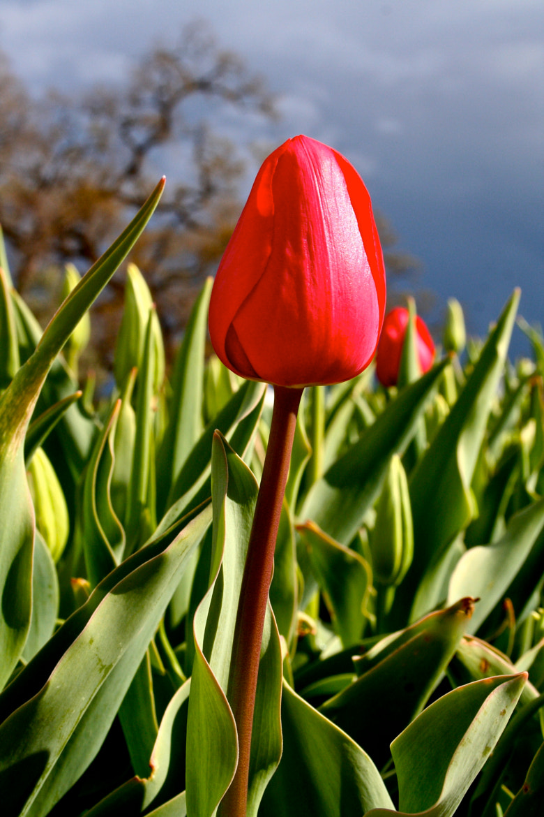 Photograph Lone tulip by Allyson South on 500px