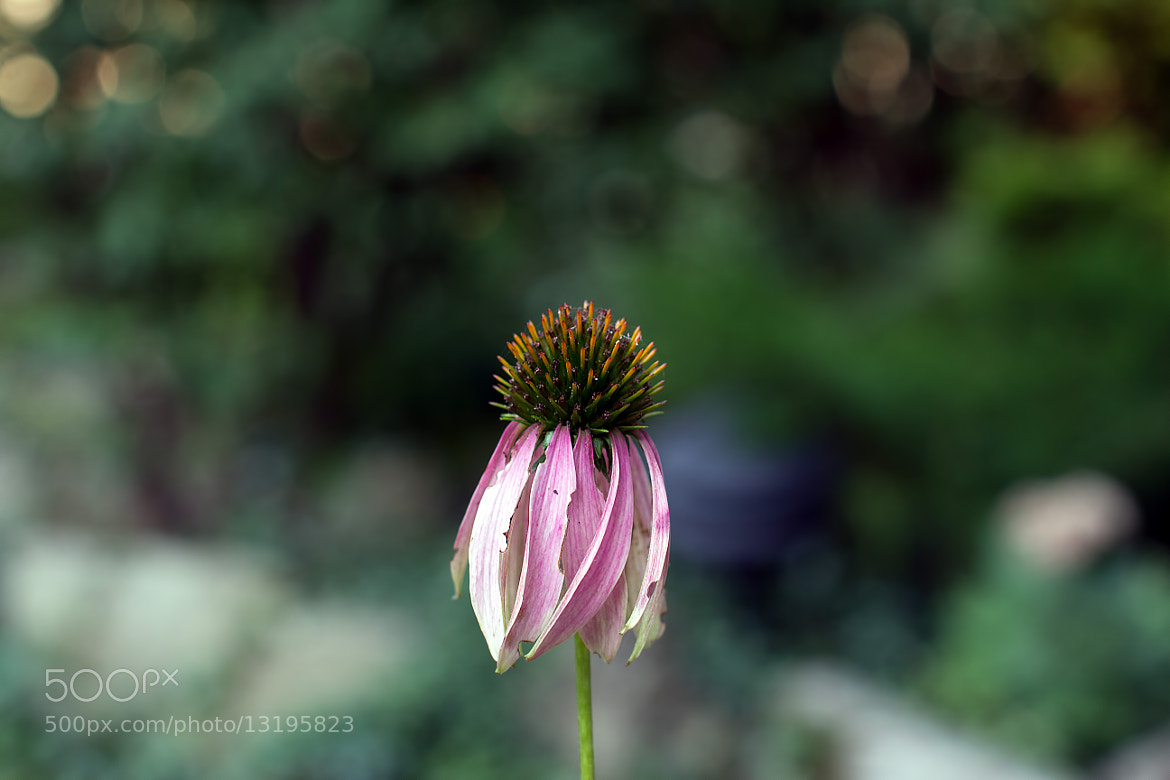 Photograph Mortuus Echinacea Purpea by Ash Furrow on 500px