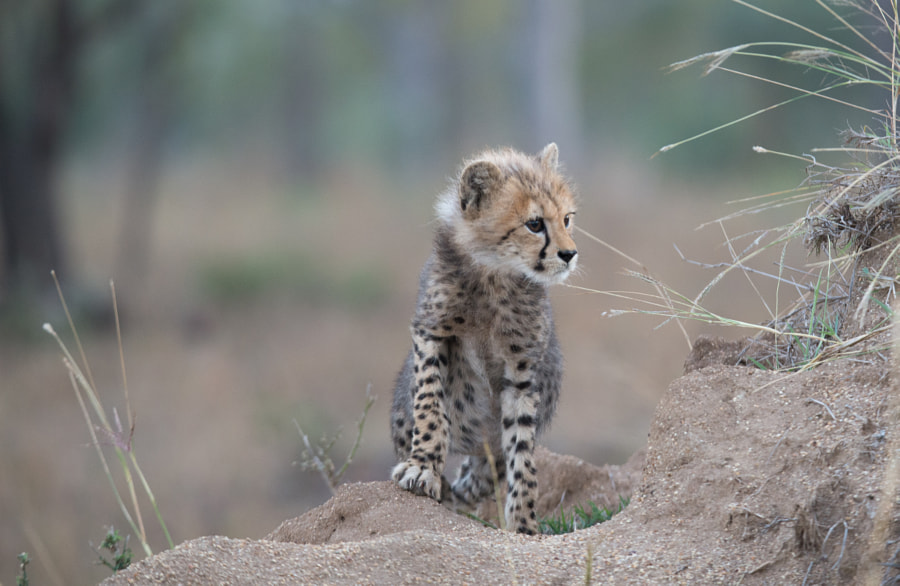 Little Cheetah by Robert Styppa on 500px