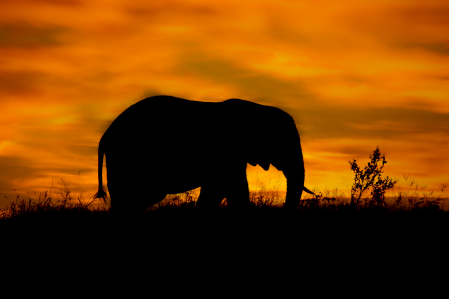 Photograph Elephant Sunset by Mario Moreno on 500px