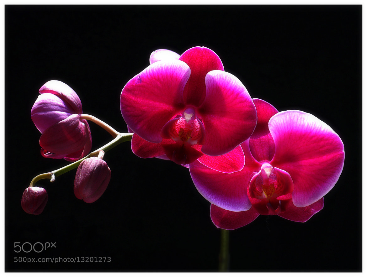 Photograph Beautiful Orchids by Sherman C. on 500px